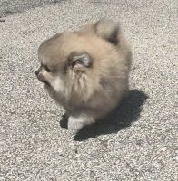Pomeranian Puppies for sale in Littleton, NC 27850, USA. price: NA