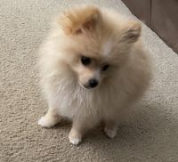 Pomeranian Puppies for sale in 803 Alpine Ct, Kissimmee, FL 34758, USA. price: NA