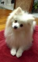 Pomeranian Puppies for sale in Springfield, MO 65810, USA. price: NA