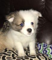 Pomeranian Puppies for sale in Lincoln, NE, USA. price: NA