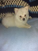 Pomeranian Puppies for sale in Lookout, CA 96054, USA. price: NA