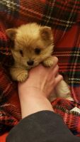 Pomeranian Puppies for sale in West Bend, WI, USA. price: NA