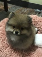 Pomeranian Puppies for sale in Fullerton, CA, USA. price: NA