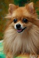 Pomeranian Puppies for sale in 920 N Sterling Ave, Palatine, IL 60067, USA. price: NA