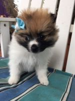 Pomeranian Puppies for sale in Moreno Valley, CA 92553, USA. price: NA