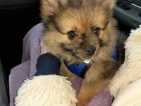 Pomeranian Puppies for sale in Kingsville, OH, USA. price: NA