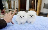 Pomeranian Puppies for sale in Raleigh, NC, USA. price: NA