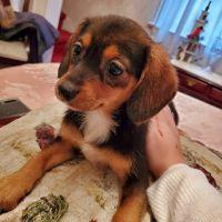 Pomeranian Puppies for sale in Bordentown, NJ 08505, USA. price: NA