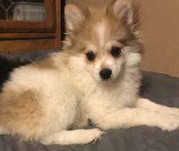 Pomeranian Puppies for sale in Chino Valley, AZ, USA. price: NA