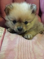 Pomeranian Puppies for sale in Akron, OH 44310, USA. price: NA