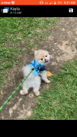 Pomeranian Puppies for sale in Utica, MI 48316, USA. price: NA