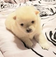 Pomeranian Puppies for sale in Estacada, OR, USA. price: NA