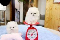 Pomeranian Puppies for sale in Lansing, MI, USA. price: NA