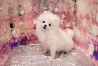 Pomeranian Puppies for sale in Las Vegas, NV 89139, USA. price: NA