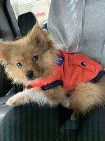 Pomeranian Puppies for sale in 1015 Atlantic Blvd, Atlantic Beach, FL 32233, USA. price: NA