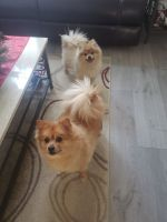 Pomeranian Puppies for sale in Orland Park, IL, USA. price: NA