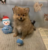 Pomeranian Puppies for sale in Ripley, WV, USA. price: NA