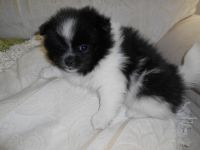 Pomeranian Puppies for sale in Apple Valley, CA, USA. price: NA