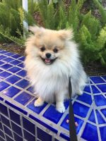 Pomeranian Puppies for sale in Irvine, CA, USA. price: NA
