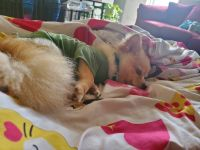 Pomeranian Puppies for sale in Goose Creek, SC, USA. price: NA