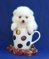 Pomeranian Puppies for sale in West Palm Beach, FL, USA. price: NA