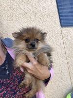 Pomeranian Puppies for sale in Daytona Beach, FL, USA. price: NA