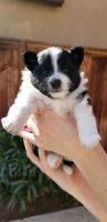 Pomeranian Puppies for sale in Riverside, CA, USA. price: NA