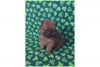 Pomeranian Puppies for sale in Clarksville, TN, USA. price: NA