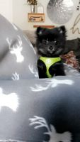 Pomeranian Puppies for sale in Kokomo, IN, USA. price: NA