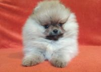 Pomeranian Puppies for sale in 217 Cottonwood Rd, Arnold, MO 63010, USA. price: NA
