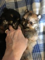 Pomeranian Puppies for sale in Cave-In-Rock, IL 62919, USA. price: NA