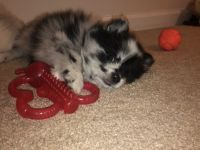 Pomeranian Puppies for sale in Boiling Springs, SC 29316, USA. price: NA
