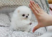 Pomeranian Puppies for sale in Sacramento Northern Bikeway, Sacramento, CA, USA. price: NA