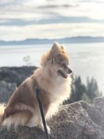 Pomeranian Puppies for sale in Lincoln, CA, USA. price: NA