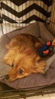 Pomeranian Puppies for sale in Hackensack, NJ, USA. price: NA