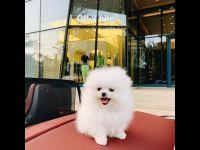 Pomeranian Puppies for sale in Massachusetts Ave, Boston, MA, USA. price: NA