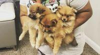 Pomeranian Puppies for sale in Dallas, TX, USA. price: NA