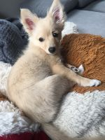 Pomeranian Puppies for sale in Simi Valley, CA, USA. price: NA