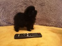 Pomeranian Puppies for sale in Los Angeles, CA, USA. price: NA