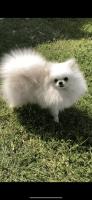 Pomeranian Puppies for sale in 1750 Sky Lark Ln, Houston, TX 77056, USA. price: NA