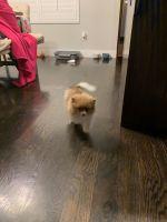 Pomeranian Puppies for sale in Draper, UT 84020, USA. price: NA