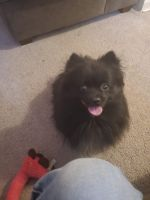 Pomeranian Puppies for sale in Detroit, MI 48203, USA. price: NA