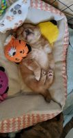 Pomeranian Puppies for sale in Springfield, MO, USA. price: NA