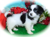 Pomeranian Puppies for sale in Hammond, IN, USA. price: NA