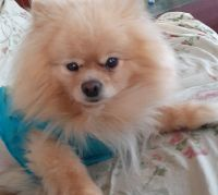 Pomeranian Puppies for sale in Fall River, MA, USA. price: NA