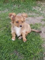 Pomeranian Puppies for sale in Highland, CA, USA. price: NA