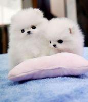 Pomeranian Puppies for sale in Jackson, GA 30233, USA. price: NA