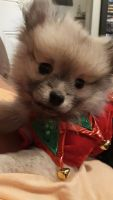 Pomeranian Puppies for sale in Cambridge, OH 43725, USA. price: NA