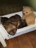 Pomeranian Puppies for sale in Katy, TX, USA. price: NA