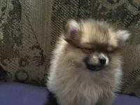 Pomeranian Puppies for sale in Pekin, IL, USA. price: NA